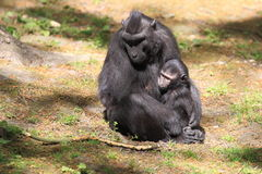 Celebes crested macaque Stock Image