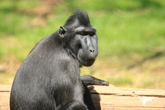 Celebes crested macaque. The detail of celebes crested macaque Royalty Free Stock Photos