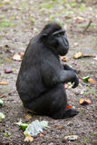 Celebes crested macaque Macaca nigra. Stock Photos