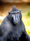 Celebes crested Macaque, Macaca nigra, black monkey, detail Stock Photography