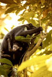Celebes crested Macaque, Macaca nigra, black monkey, detail Royalty Free Stock Image