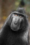 Celebes crested Macaque, Macaca nigra, black monkey, detail Royalty Free Stock Photo