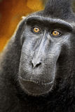 Celebes crested Macaque, Macaca nigra, black monkey, detail Stock Photo