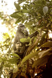 Celebes crested Macaque, Macaca nigra, black monkey, detail Royalty Free Stock Photography