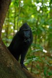 Celebes crested Macaque, Macaca nigra, black monkey with open mouth with big tooth, sitting in the nature habitat, dark tropical f Royalty Free Stock Image