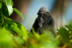 Celebes crested Macaque, Macaca nigra i nthe tree. Black monkey, detail portrait, sitting in the nature habitat.  Monkey in dark t Royalty Free Stock Photography