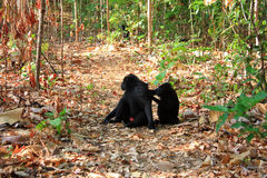 Celebes Crested Macaque Stock Images