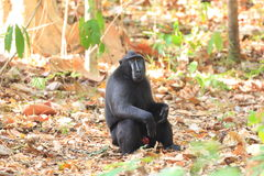 Celebes Crested Macaque Royalty Free Stock Image