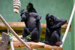 Celebes crested macaque Stock Photo
