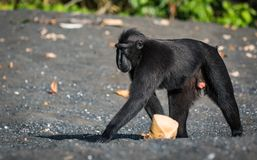 Celebes crested macaque in wildlife. Celebes crested macaque  is an old world monkey that lives in the Tangkoko reserve, endemic and endangered Stock Image