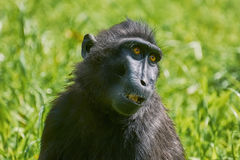 Celebes Crested Macaque. Portrait of Celebes Crested Macaque (Macaca nigra Stock Image