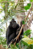 Celebes crested macaque, Sulawesi, Indonesia Royalty Free Stock Images