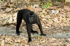 Celebes crested macaque, Sulawesi, Indonesia Stock Photography