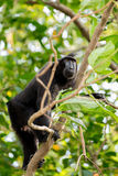 Celebes crested macaque, Sulawesi, Indonesia Royalty Free Stock Photo
