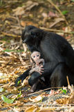 Celebes crested macaque, Sulawesi, Indonesia Royalty Free Stock Image