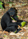 Celebes crested macaque, Sulawesi, Indonesia Stock Photos