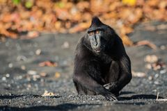 Celebes crested macaque in wildlife. Celebes crested macaque  is an old world monkey that lives in the Tangkoko reserve, endemic and endangered Royalty Free Stock Images