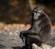 Celebes crested macaque in wildlife. Celebes crested macaque  is an old world monkey that lives in the Tangkoko reserve, endemic and endangered Royalty Free Stock Image