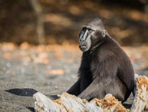 Celebes crested macaque in wildlife. Celebes crested macaque  is an old world monkey that lives in the Tangkoko reserve, endemic and endangered Royalty Free Stock Photos