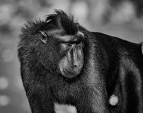 Celebes crested macaque in wildlife. Celebes crested macaque  is an old world monkey that lives in the Tangkoko reserve, endemic and endangered Stock Photography