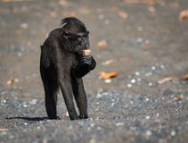 Celebes crested macaque in wildlife. Celebes crested macaque  is an old world monkey that lives in the Tangkoko reserve, endemic and endangered Stock Images