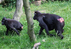 The Celebes crested macaque with young Stock Photos