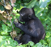 Celebes crested macaque young Stock Images