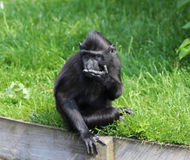 The Celebes crested macaque young Stock Photo