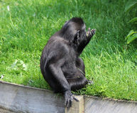Celebes crested macaque young Royalty Free Stock Photos