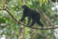 Celebes erklommen den Makaken, der auf die Niederlassung des Baums geht Schlie?en Sie herauf Portrait Endemischer schwarzer Makak lizenzfreie stockfotografie
