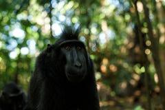 Celebes erklommen den Makaken, der die Kamera untersucht Schlie?en Sie herauf Portrait Endemischer schwarzer Makaken mit Haube od stockfotos