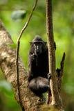 Celebes erklommen Makaken auf der Niederlassung des Baums Schlie?en Sie herauf Portrait Endemischer schwarzer Makaken mit Haube o stockbilder