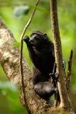 Celebes erklommen Makaken auf der Niederlassung des Baums Schlie?en Sie herauf Portrait Endemischer schwarzer Makaken mit Haube o stockfotografie