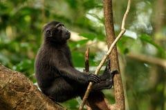 Celebes erklommen Makaken auf der Niederlassung des Baums Schlie?en Sie herauf Portrait Endemischer schwarzer Makaken mit Haube o lizenzfreies stockbild