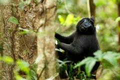 Celebes erklommen Makaken auf der Niederlassung des Baums Schlie?en Sie herauf Portrait Endemischer schwarzer Makaken mit Haube o stockbild