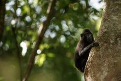 Celebes erklommen Makaken auf der Niederlassung des Baums Schlie?en Sie herauf Portrait Endemischer schwarzer Makaken mit Haube o lizenzfreie stockfotografie