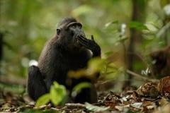 Celebes erklommen Makaken auf der Niederlassung des Baums Schlie?en Sie herauf Portrait Endemischer schwarzer Makaken mit Haube o lizenzfreie stockbilder