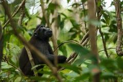 Celebes erklommen Makaken auf der Niederlassung des Baums Schlie?en Sie herauf Portrait Endemischer schwarzer Makaken mit Haube o lizenzfreies stockfoto