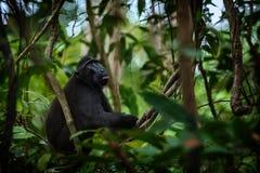 Celebes erklommen Makaken auf der Niederlassung des Baums Schlie?en Sie herauf Portrait Endemischer schwarzer Makaken mit Haube o stockfoto