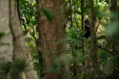 Celebes erklommen Makaken auf der Niederlassung des Baums Schlie?en Sie herauf Portrait Endemischer schwarzer Makaken mit Haube o lizenzfreie stockfotos