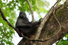 Celebes erklommen Makaken auf der Niederlassung des Baums Schlie?en Sie herauf Portrait Endemischer schwarzer Makaken mit Haube o stockfotos