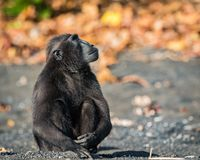 Celebes erklommen Makaken in den wild lebenden Tieren Lizenzfreie Stockfotos
