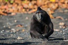 Celebes erklommen Makaken in den wild lebenden Tieren Lizenzfreie Stockbilder