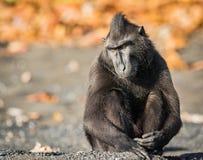 Celebes erklommen Makaken in den wild lebenden Tieren Stockfotos