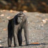Celebes erklommen Makaken in den wild lebenden Tieren stockfotografie