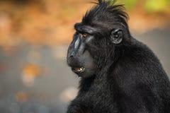 Celebes erklommen Makaken in den wild lebenden Tieren Lizenzfreie Stockfotografie