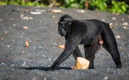 Celebes erklommen Makaken in den wild lebenden Tieren Stockbild