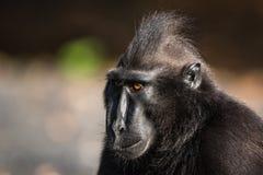 Celebes erklommen Makaken in den wild lebenden Tieren Lizenzfreies Stockfoto