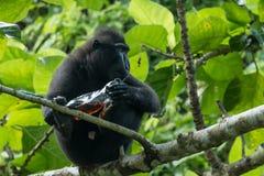 Celebes erklommen Makaken Macaca Nigra, der mit Abfall in Nationalpark Tangkoko in Nord-Sulawesi, Indonesien spielt Lizenzfreie Stockfotos
