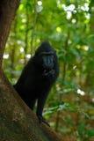 Celebes erklommen Makaken, Macaca Nigra, schwarzer Affe mit offenem Mund mit dem großen Zahn und saßen im Naturlebensraum, dunkle Lizenzfreies Stockbild